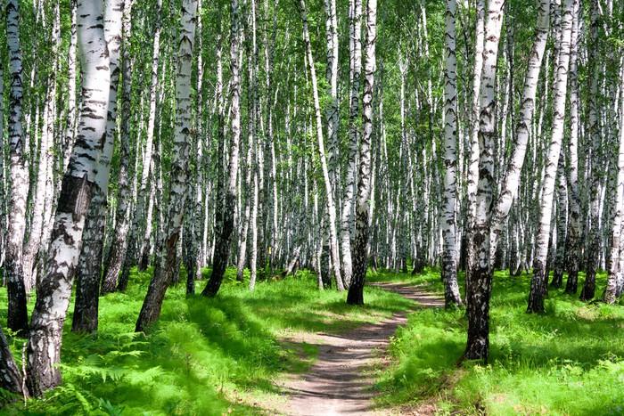 Fototapete birkenwald mit pfad pixers wir leben um for Fototapete birkenwald