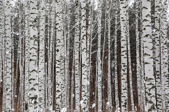 Winter birch forest wall mural pixers we live to change for Birch tree forest wall mural