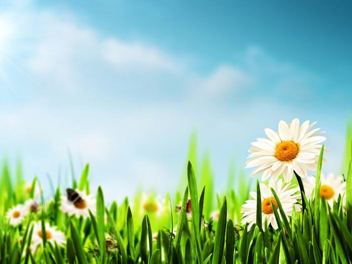 Vinylová fototapeta Daisy květiny na louce, sezónní pozadí pro váš desi - Vinylová fototapeta