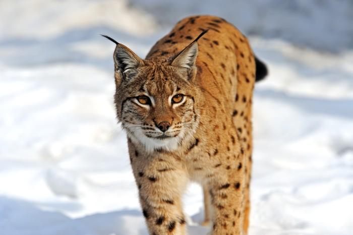 Vinylová Tapeta Lynx v jejich - Savci