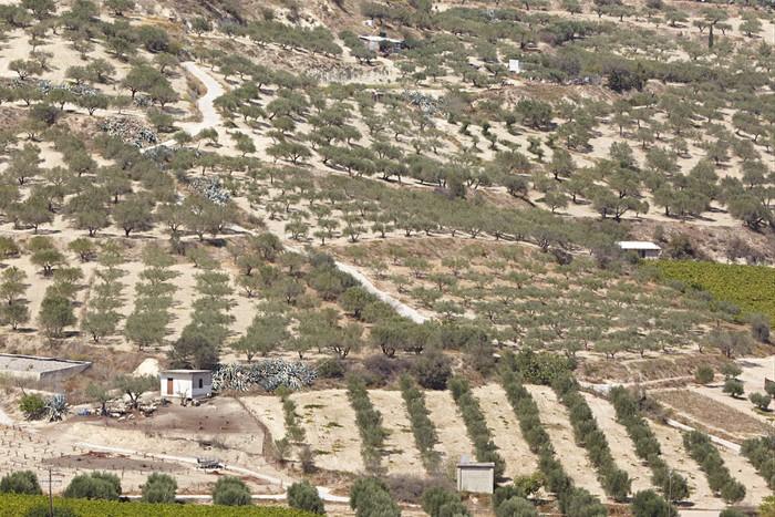 Vinylová Tapeta Řecko, Kréta. Olivové zahrady u obce Skalani - Zemědělství