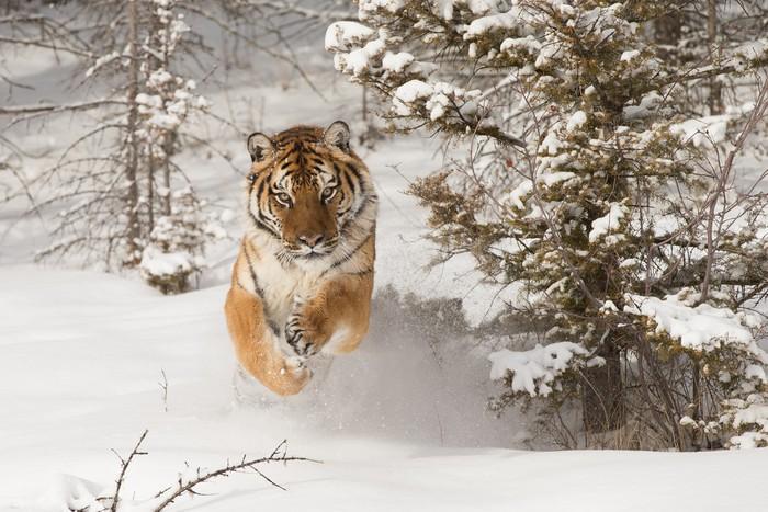 Vinyltapet Siberian tiger som körs i snö - Teman