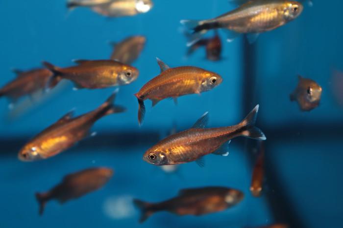 Vinylová Tapeta Silvertip tetra (nana Hasemania) akvarijní ryby - Vodní a mořský život