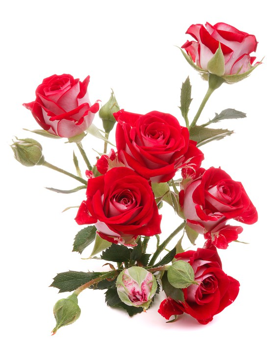 Cuadro En Lienzo Rosa Roja Ramo De Flores Sobre Fondo Blanco Recorte