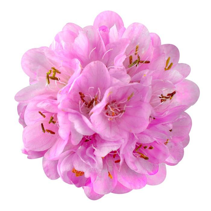 papier peint motifs petite fleur rose boule dombeya isol sur fond blanc pixers nous. Black Bedroom Furniture Sets. Home Design Ideas