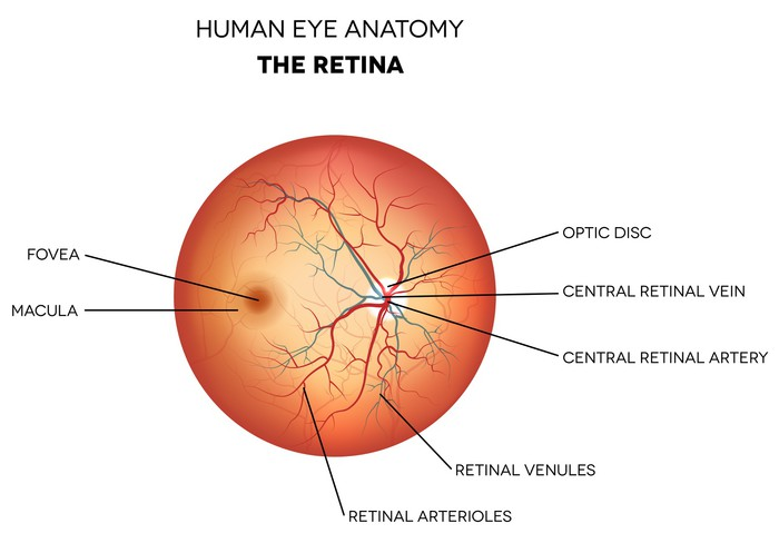 Laptop-Aufkleber Menschliche Auge Anatomie, Netzhaut • Pixers® - Wir ...
