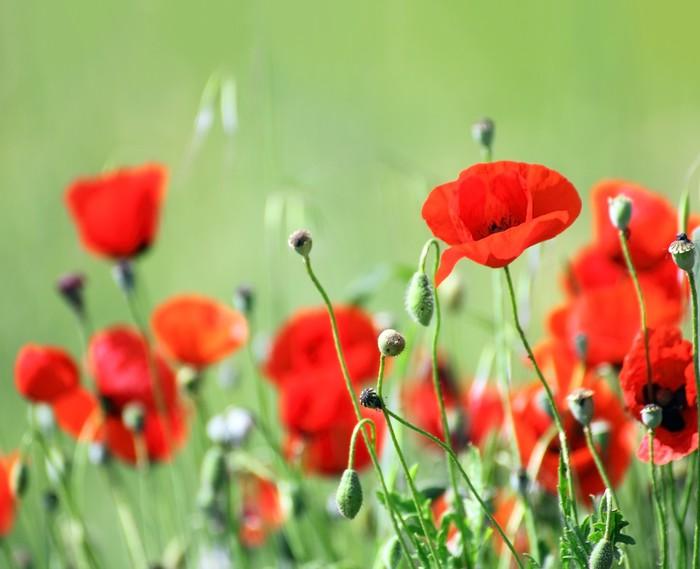 Vinylová Tapeta Červené květy máku v poli - Témata