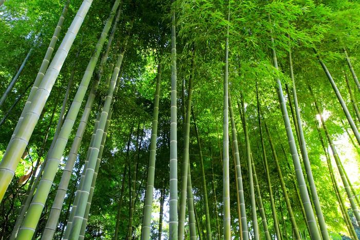 Papier Peint Vinyle Bambou foret - Forêt