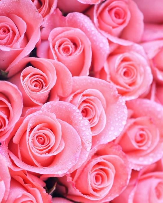 Vinylová Tapeta Obrázek na pozadí růžových růží s vodní kapky - Štěstí