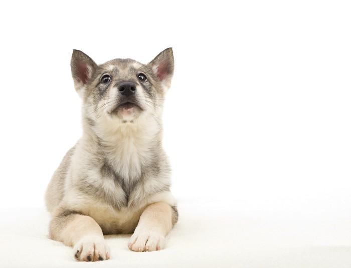 Vinylová Tapeta Husky štěně hledá do izolovaných na bílém pozadí - Savci