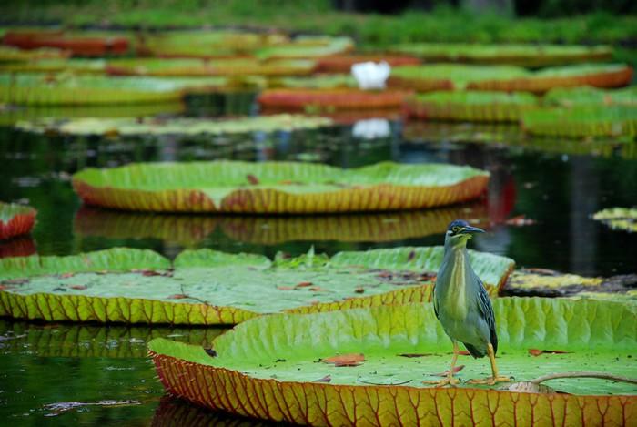 Vinylová Tapeta Obří vodní lilie. Botanická zahrada, Pamplemousses, Mauricius - Asie