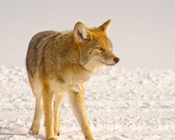 Vinylová Tapeta Coyote naslouchá potíže - Témata