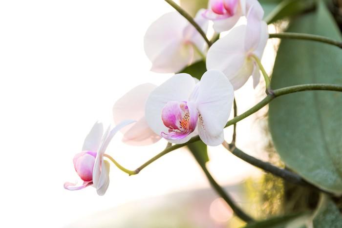 Vinylová Tapeta Bílá orchidej Phalaenopsis - Květiny