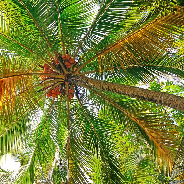 coconut tree background Wall Mural Pixers We live to change