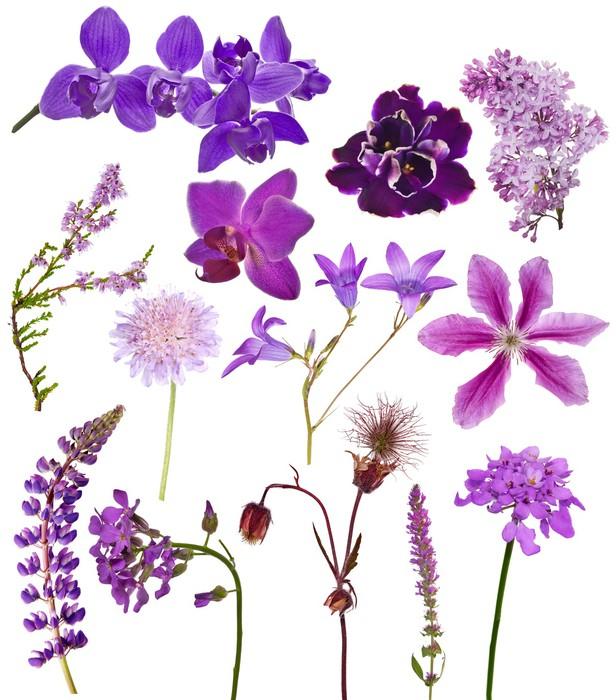 Vinylová Tapeta Sada lila barvy květin na bílém - Květiny