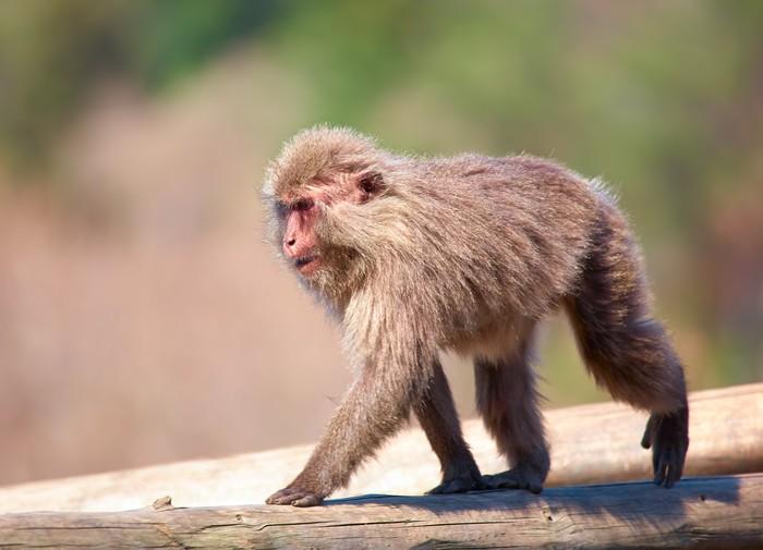 Papier Peint Vinyle Macaque japonais - Mammifères