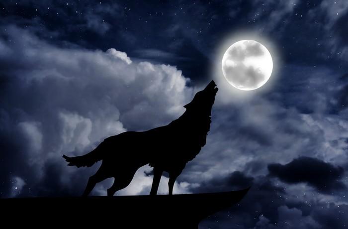 Fototapeta Wilk Wyje Do Księżyca W Pełni Pixers