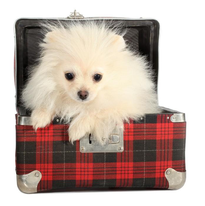 Fototapeta Pomorska Puppy Mały Pies ćwierkania Od Starych Walizka