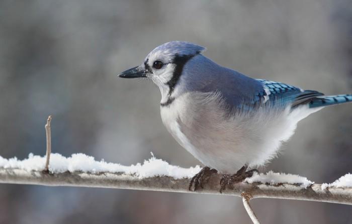 Vinylová Tapeta Geai bleu en hiver - Roční období