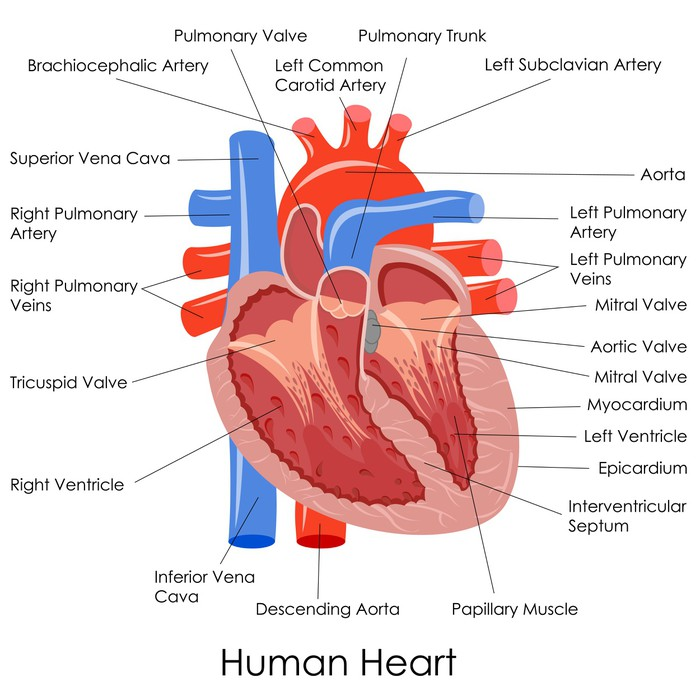 Vector Illustration Of Diagram Of Human Heart Anatomy Wall Mural