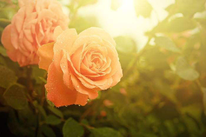 Vinylová Tapeta Oranžové růže - Štěstí
