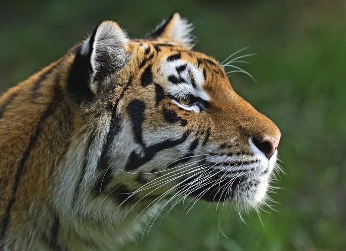 Vinylová Tapeta Amur Tiger - Savci