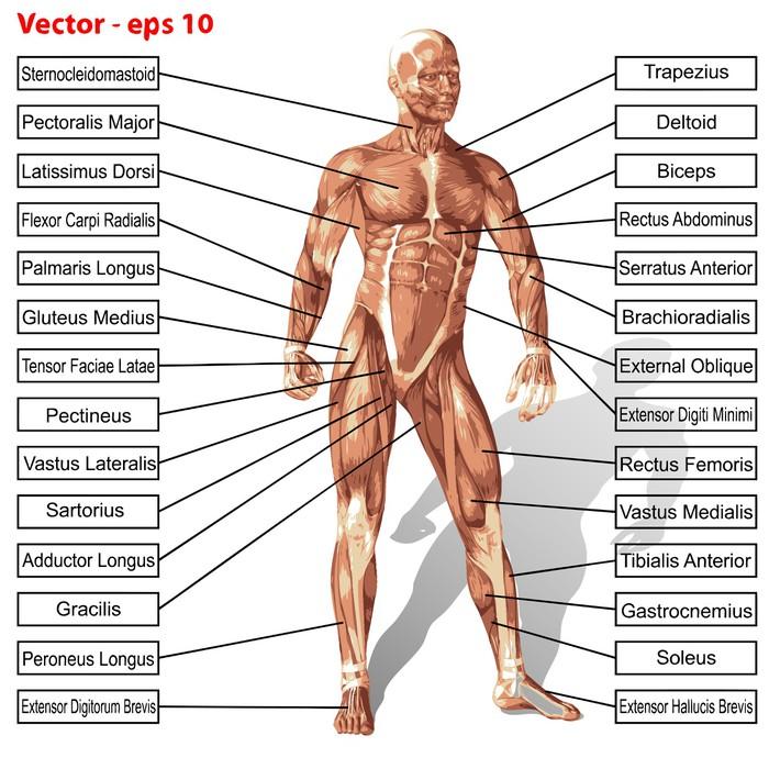 Lack-Tischaufkleber Vector menschlichen Anatomie Mann mit Muskeln ...