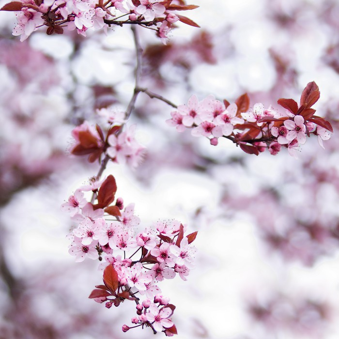 Pink cherry blossom flowers in early spring wall mural pixers pink cherry blossom flowers in early spring vinyl wall mural themes mightylinksfo