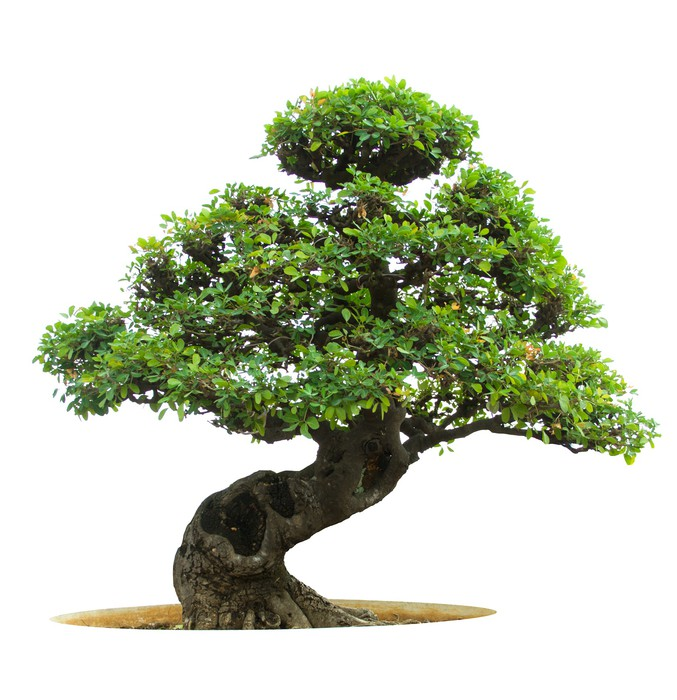 fototapete bonsai baum pixers wir leben um zu ver ndern. Black Bedroom Furniture Sets. Home Design Ideas