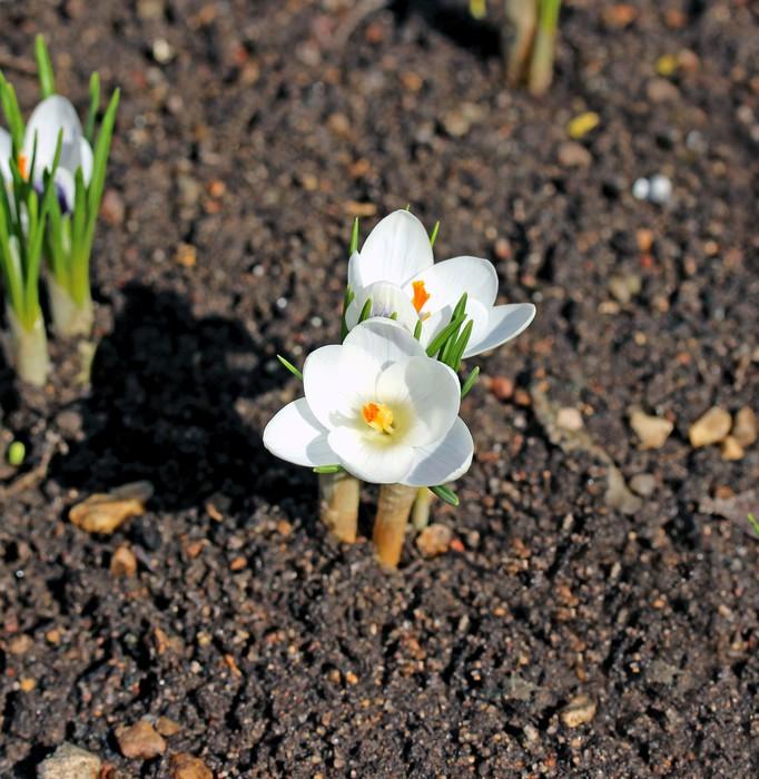 Tableau sur toile fleurs de crocus dans le jardin pixers for Fleurs dans le jardin