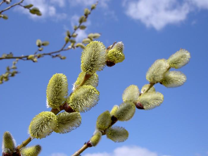 Vinylová Tapeta Vrby květy v jemném jarního odpoledne - Mezinárodní svátky