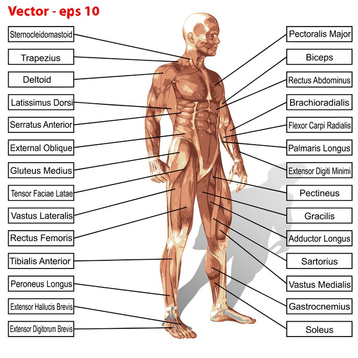 Fototapete Vector menschlichen Anatomie Mann mit Muskeln Text ...