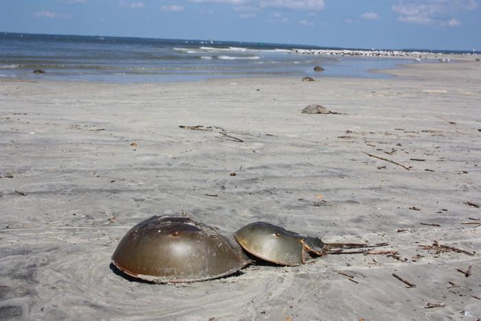 Vinylová Tapeta Páření krabů podkovy na odlehlé pláži - Vodní a mořský život