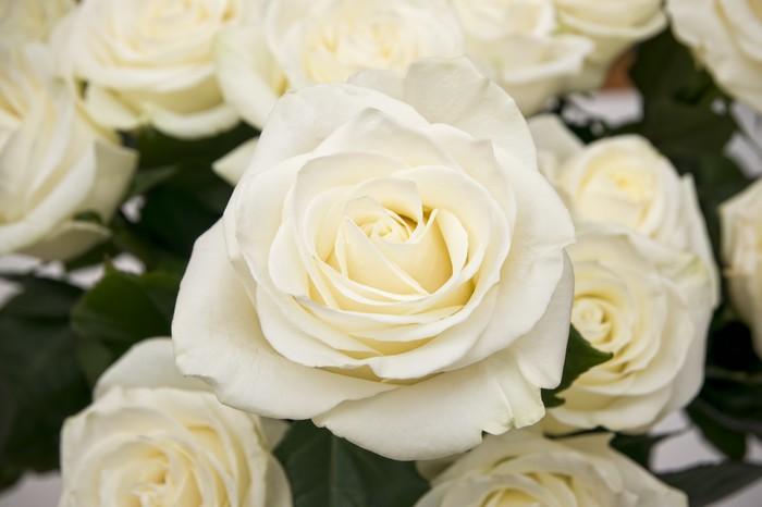 Carta Da Parati Rosa Bianca : Carta da parati rosa bianca primo piano u2022 pixers® viviamo per il