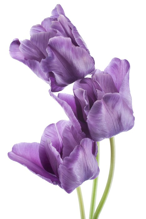 Papel de Parede em Vinil tulip - Flores