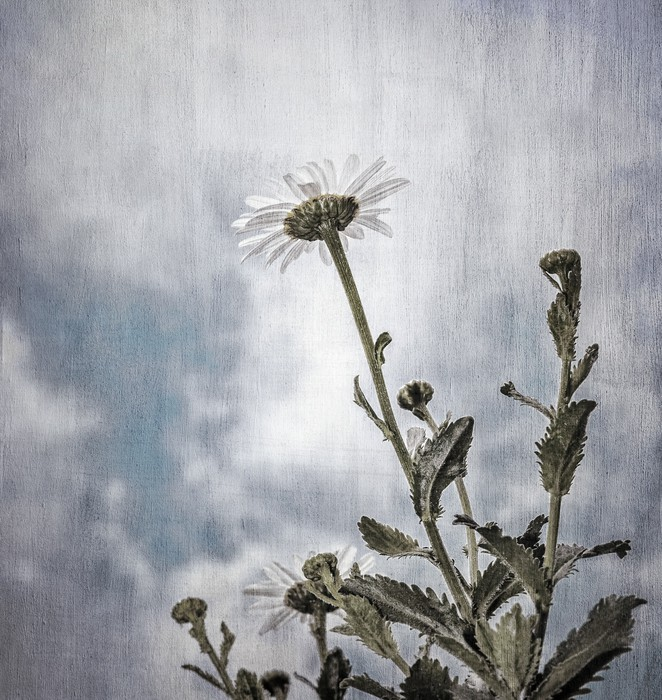 Grunge photo of daisy flowers wall mural pixers we for Daisy fuentes wall mural