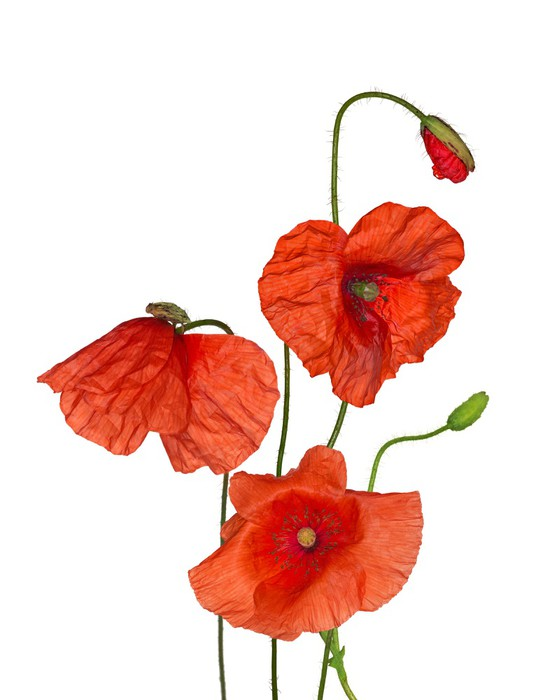 Sticker bouquet de fleurs sauvages de pavot rouge sur fond blanc pixers nous vivons pour - Bouquet de fleurs sauvages ...