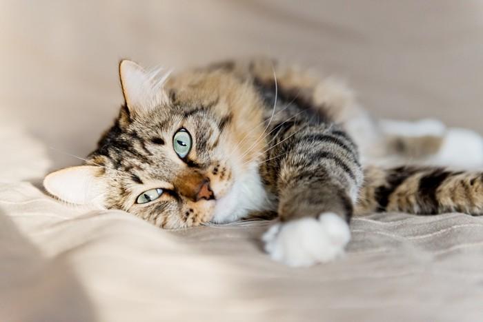 papier peint le chat gris couch sur le lit pixers nous vivons pour changer. Black Bedroom Furniture Sets. Home Design Ideas