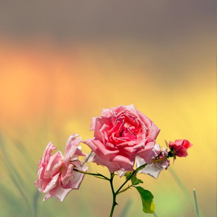 Vinylová Tapeta Růžové růže na barevné pozadí - Roční období