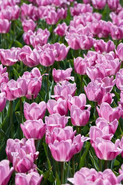 Vinylová Tapeta Pole tulipánů - Témata