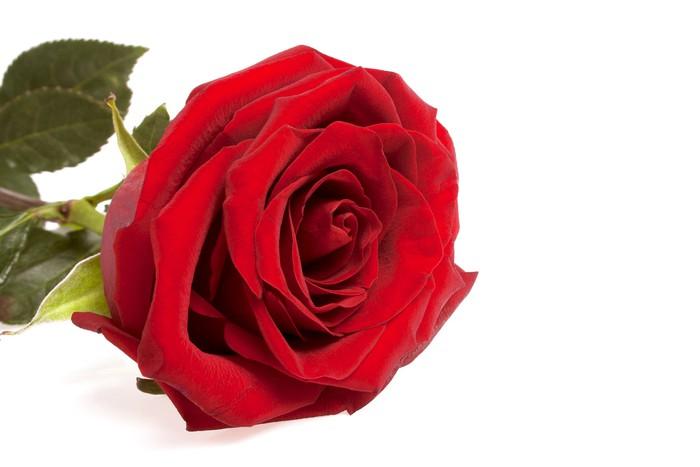 Vinylová Tapeta Jediné červená růže květ izolovaných na bílém pozadí - Květiny