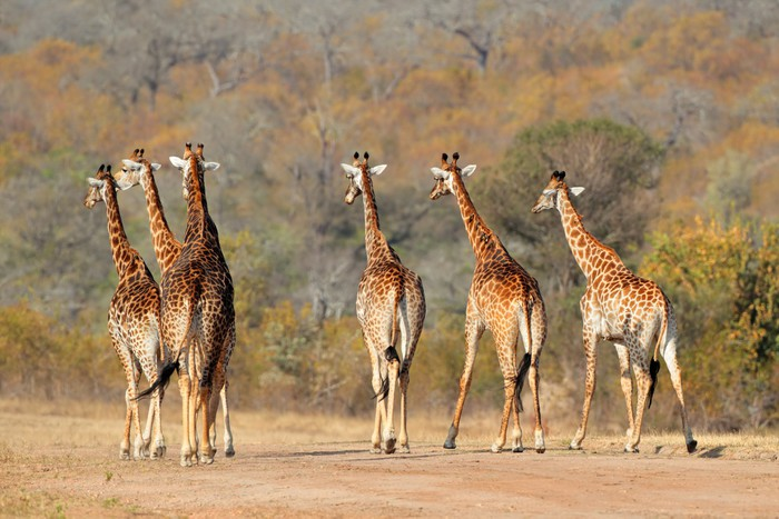 Vinylová Tapeta Žirafa stádo - Témata