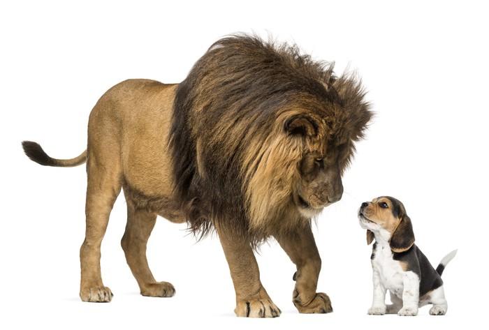 Vinylová Tapeta Lion stál a díval se na beagle štěně - Savci