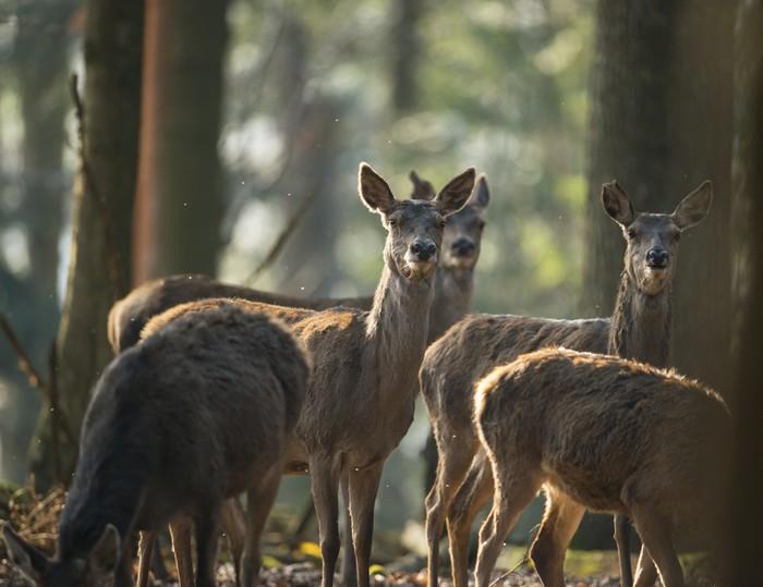 Vinylová Tapeta Červené jeleni v lese - Savci
