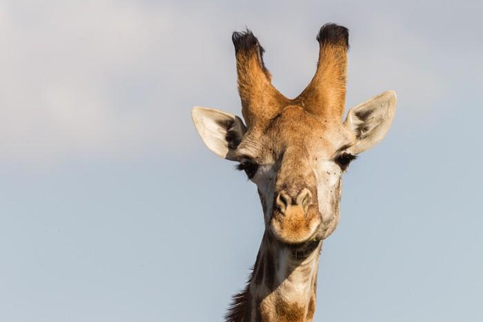 Nálepka Pixerstick Žirafa v přírodě venkovních safari rezervní parku v Africe - Témata