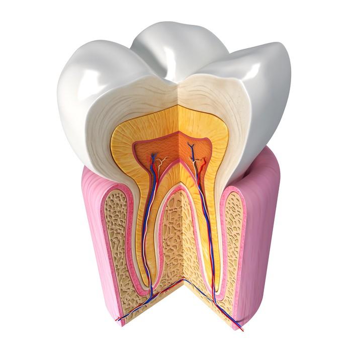 Fototapete 3D-Illustration von Zähne Anatomie • Pixers® - Wir leben ...