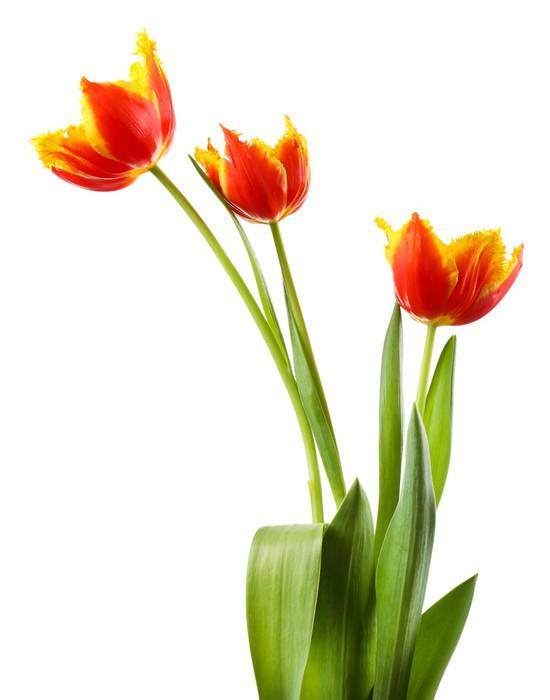 Vinylová Tapeta Krásné tulipány izolovaných na bílém. - Květiny