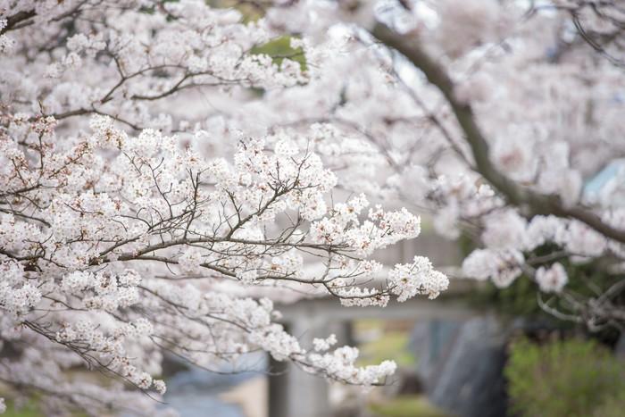 Vinylová Tapeta 川 面 と 満 開 の 桜 - Roční období