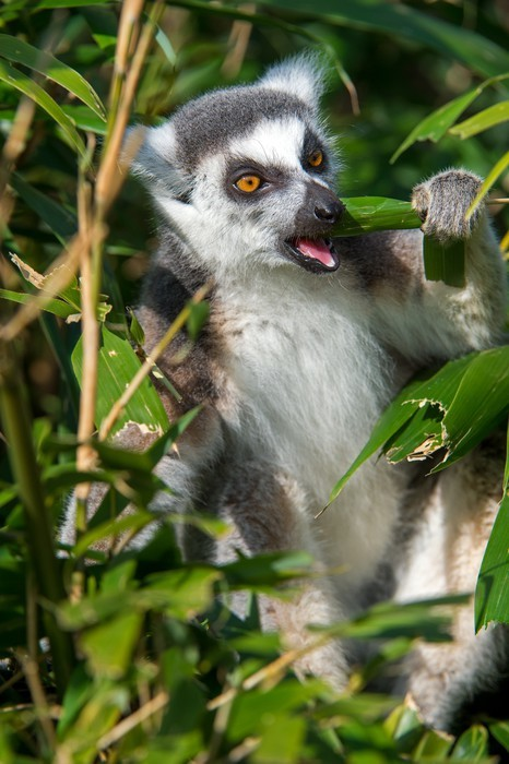 Nálepka Pixerstick Ring-tailed lemur - Savci