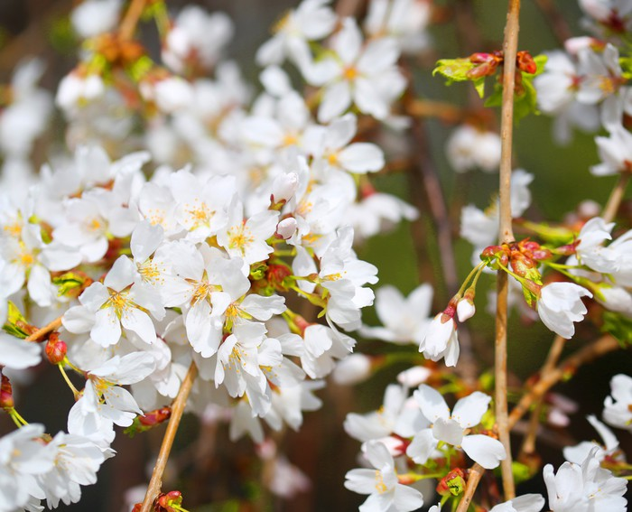 Vinylová fototapeta Květy třešní. Bílé květy na jarní den - Vinylová fototapeta